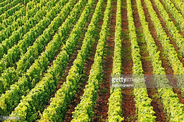 champagne vineyards in cramant - ardennes department france stock photos and pictures