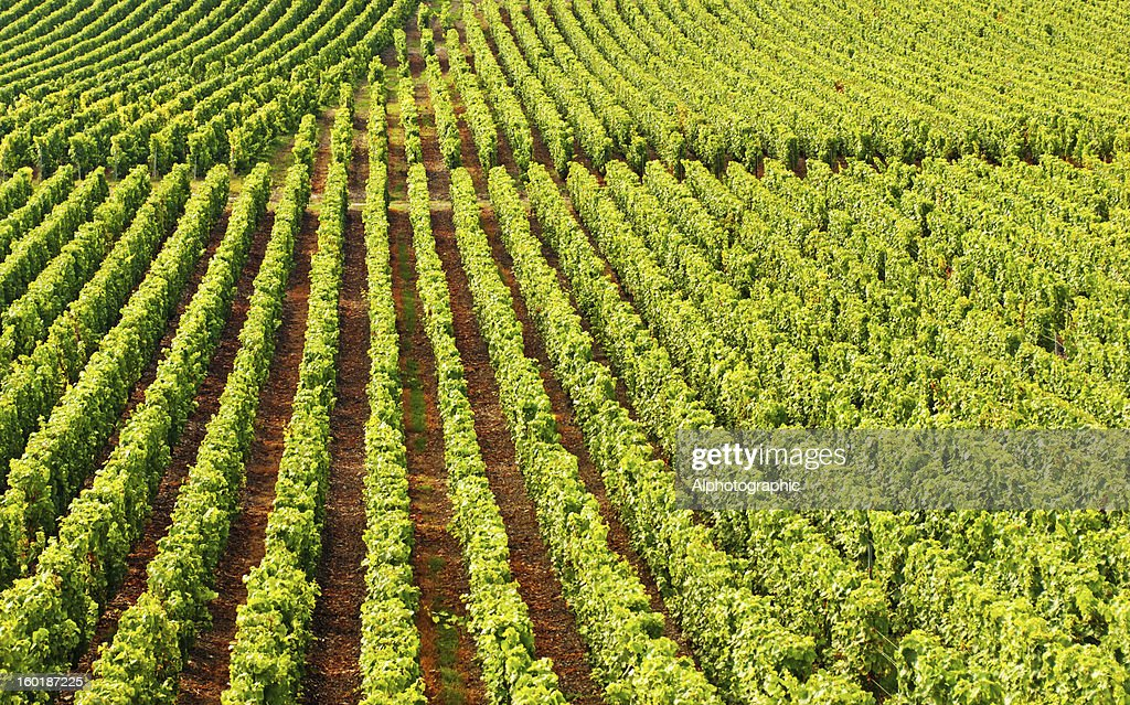 Champagne vineyards in Cramant : Stock Photo