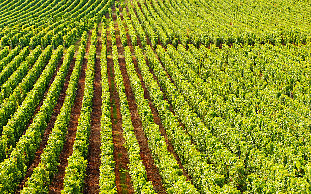Champagne Vineyards In Cramant Wall Art