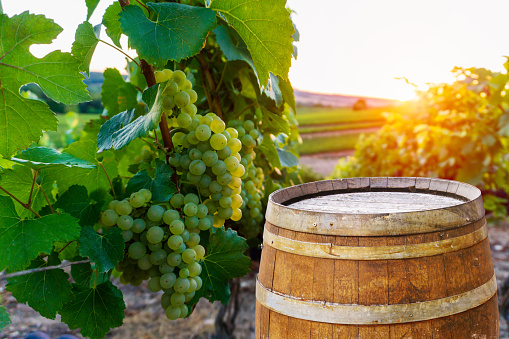 Champagne vineyards with old wooden barrel on row vine green grape in champagne vineyards background at montagne de reims - gettyimageskorea