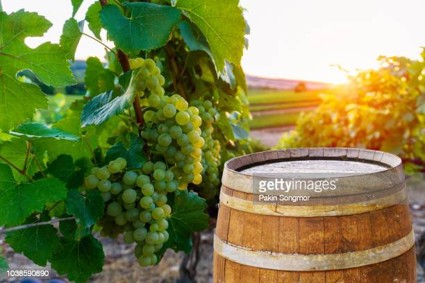 champagne vineyards with old wooden barrel on row vine green grape in champagne vineyards background at montagne de reims - campania stock pictures, royalty-free photos & images