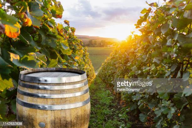 champagne vineyards with old wooden barrel on row vine green grape in champagne vineyards background at montagne de reims - marne stock pictures, royalty-free photos & images