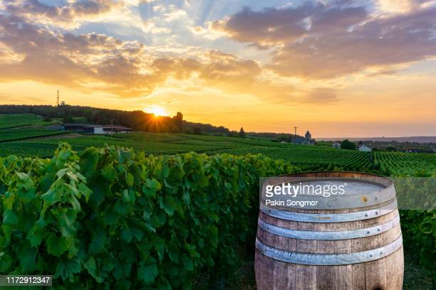 champagne vineyards with old wooden barrel on row vine green grape in champagne vineyards background at montagne de reims - エペルネ ストックフォトと画像
