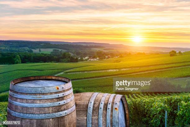 Champagne vineyards with old wooden barrel on row vine green grape