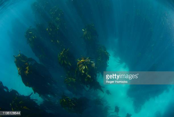a champion female freediver exploring a kelp forest underwater off cape town. - atlantic ocean stock pictures, royalty-free photos & images