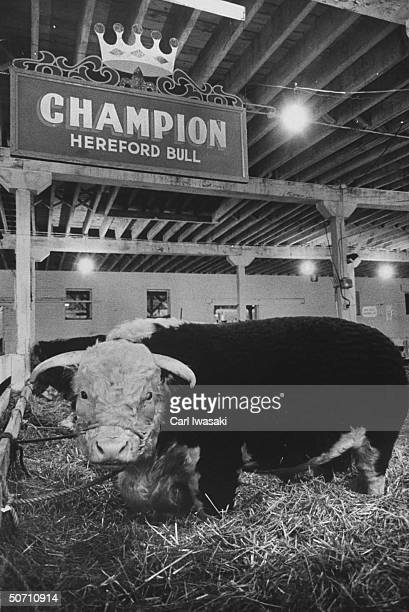 Champion hereford bull during the National Western Stock show