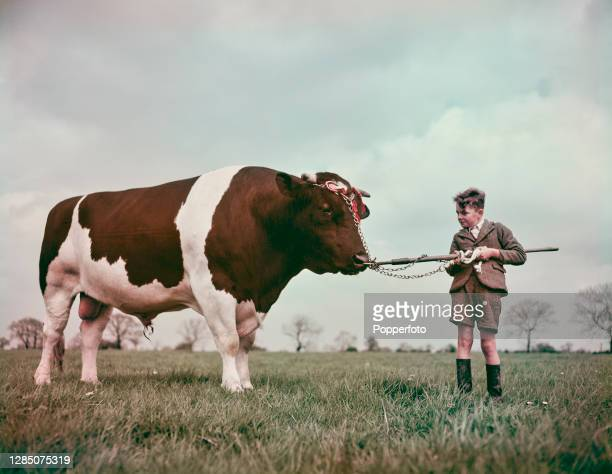 Champion Holstein Friesian bull Tenfield Rex, winner of the Mayford Challenge Cup, stands with a young boy in a field in England in May 1949.