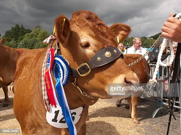 champion limusín vaquilla - animal win fotografías e imágenes de stock
