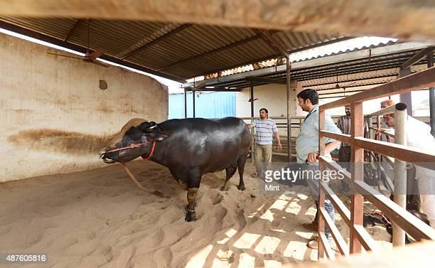 Champion Murrah bull Yuvraj at house of his owner Karamveer in Sonnariyan village on October 29 2014 in Kurukshetra India Weighing 1400 Kgs Yuvraj...