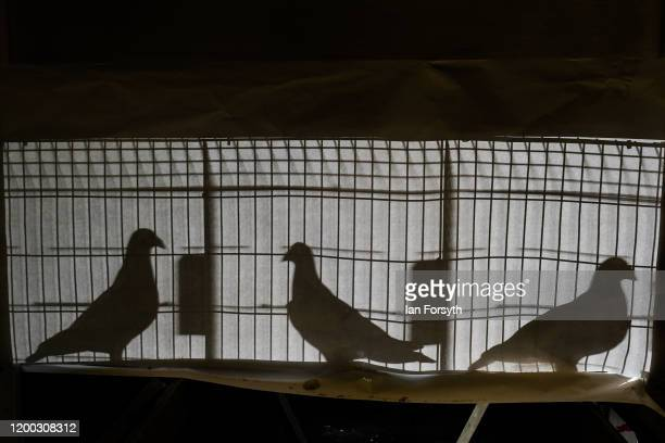 Champion pigeons are seen from behind through their cages on the first day of the annual British Homing Pigeon World Show of the Year at Blackpool...