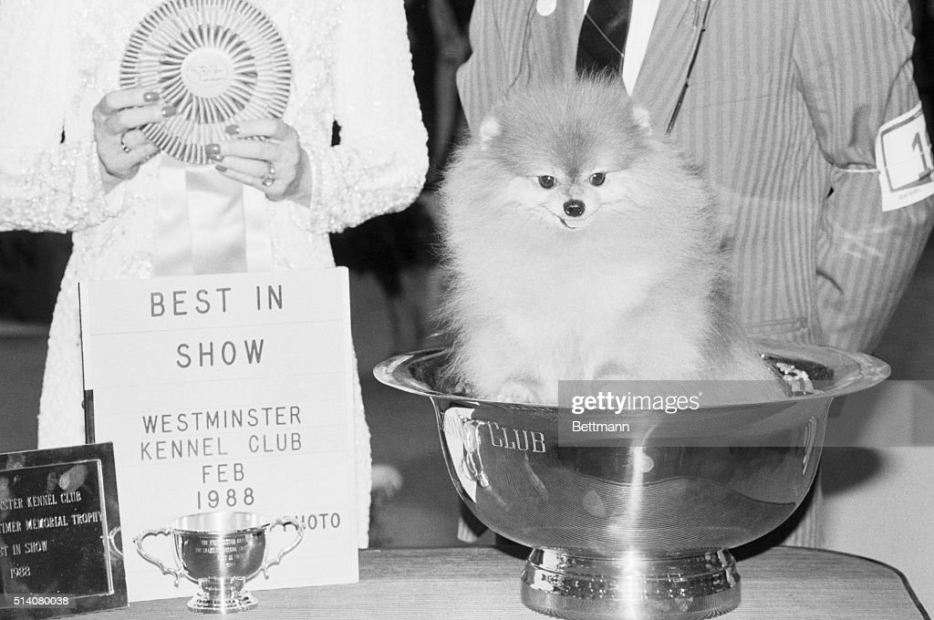 Champion Pomeranian Prince Charming Ii Sits In The Winner S Cup
