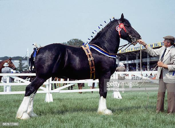 champion shire horse - shire horse stock pictures, royalty-free photos & images
