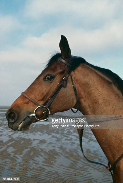 Champion Thoroughbred steeplechaser racehorse 'Red Rum' 1975