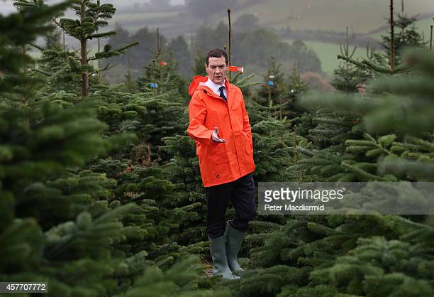 Chancellor of the Exchequer George Osborne visits Marldon Christmas Tree Farm on October 23 2014 in Marldon England The Chancellor is on a two day...