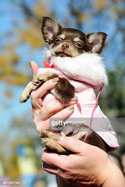 Chane a Chihuahua won the prize for the smallest dog at the Husky Hero Dog Day on June 7 2014 at Walkhaven Dog Park in Johannesburg South Africa The...