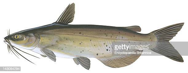 Channel Catfish Channel Catfish