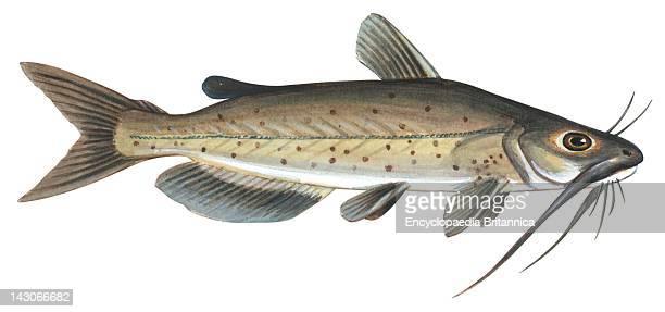 Channel Catfish Channel Catfish