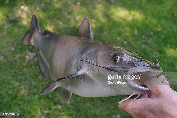 channel catfish - catfish stock photos and pictures