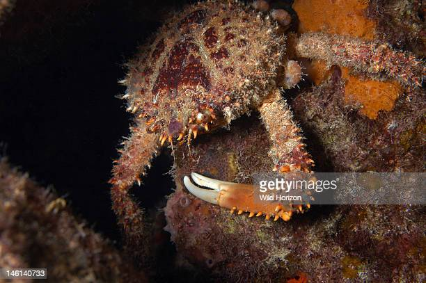 Channel clinging crab foraging at night Mithrax spinosissimus Also known as reef spider crab spiny spider crab coral crab and king crab Curacao...