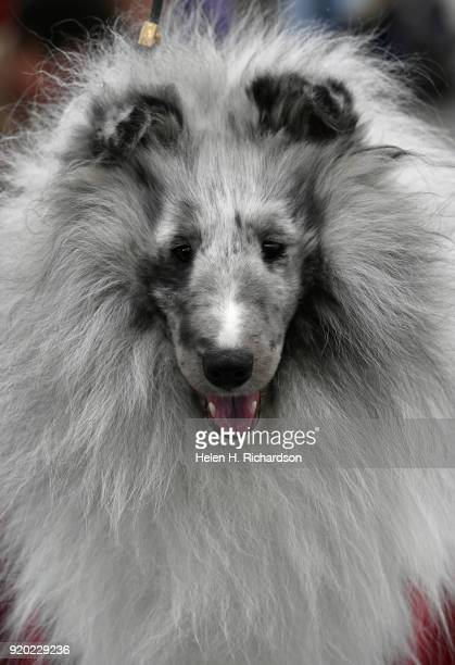 Channine a Shetland Sheepdog owned by Debbie Sidofsky not show is primped and ready to go during the Colorado Kennel Club Dog Show at the National...