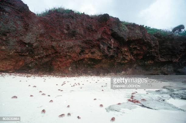 Chaque année les crabes rouges inoffensifs envahissent les plages de Christmas Island pour leur reproduction le 7 janvier 1992 à Christmas Island...