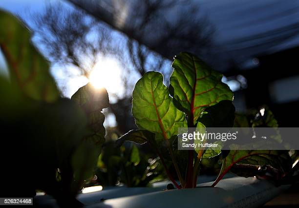 Chard grows in a greenhouse at Archi's Acres Organic Garden in Valley Center CA on Wednesday January 19 2011 Archi's Acres is a program setup for...