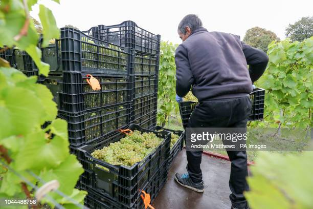 Chardonnay grapes are harvested for Hattingley Valley Wines on the Rabbit Bank vineyard near to Cottonworth in Hampshire as a bumper crop is expected...