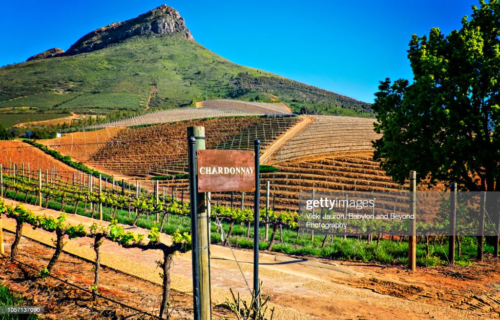 Chardonnay Grapes at a Winery in Franschhoek, South Africa : Stock Photo