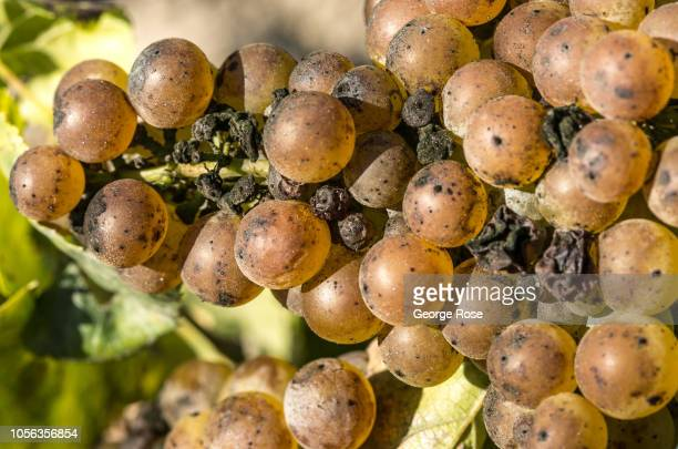 Chardonnay grapes growing on vines in the Russian River Valley are affected by sunburn mildew and botrytis as viewed on October 11 near Healdsburg...
