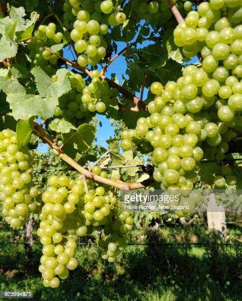 chardonnay grapes in a new zealand vineyard - chardonnay grape stock photos and pictures