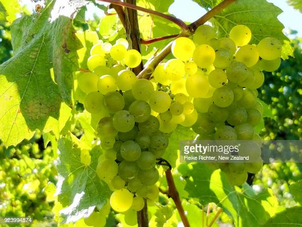 chardonnay grapes in a new zealand vineyard - blenheim new zealand stock pictures, royalty-free photos & images