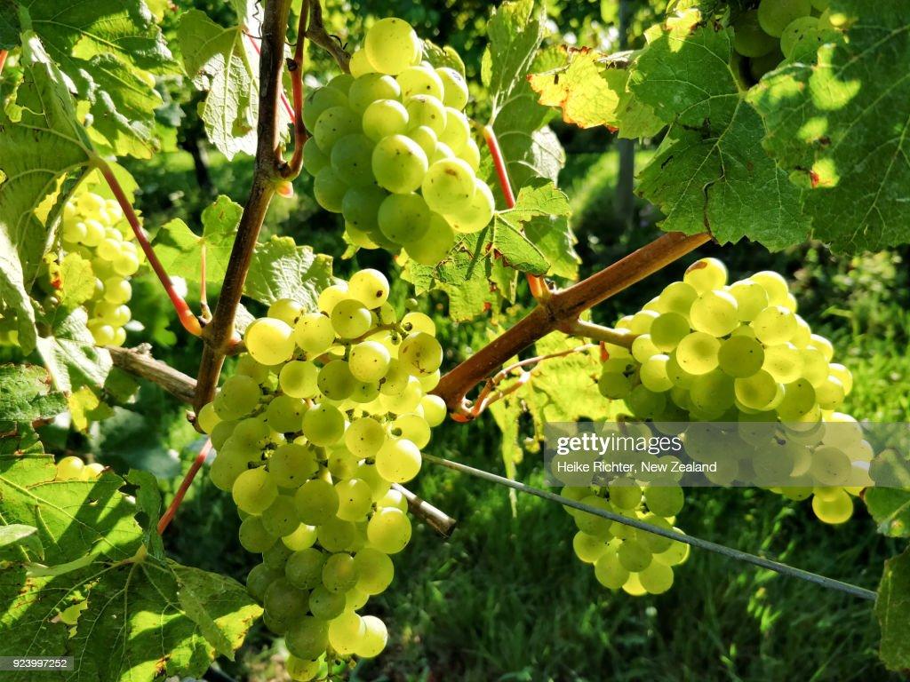 Chardonnay grapes in a New Zealand vineyard : Stock Photo