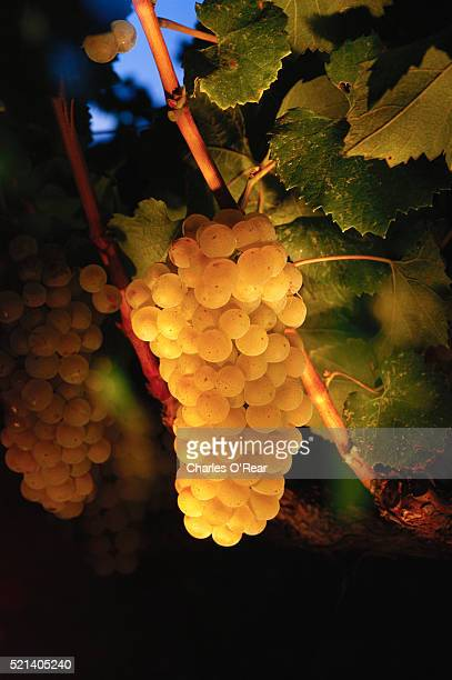 chardonnay grapes just before harvest - chardonnay grape stock photos and pictures
