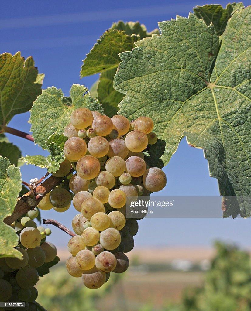 Chardonnay Grapes on the Vine : Stock Photo