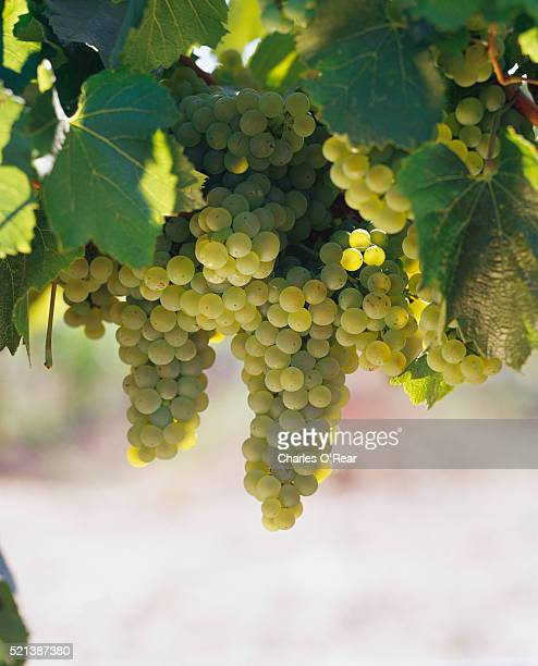 chardonnay grapes on the vine - chardonnay grape stock photos and pictures