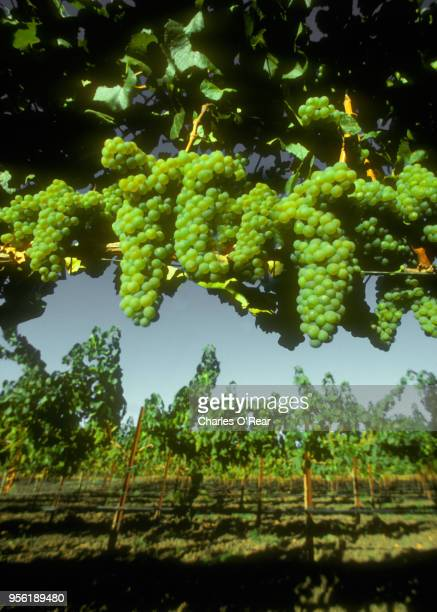 chardonnay grapes - chardonnay grape stock photos and pictures