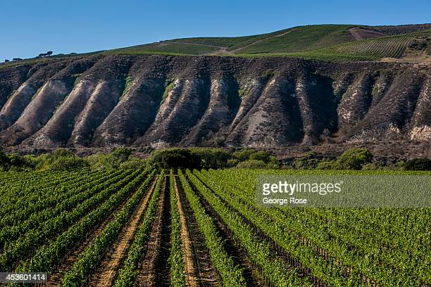 Chardonnay vineyards across the street from Sanford Winery are viewed on July 11 in Santa Ynez California Because of its close proximity to Southern...