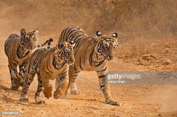 Charging tiger cubs and their mother