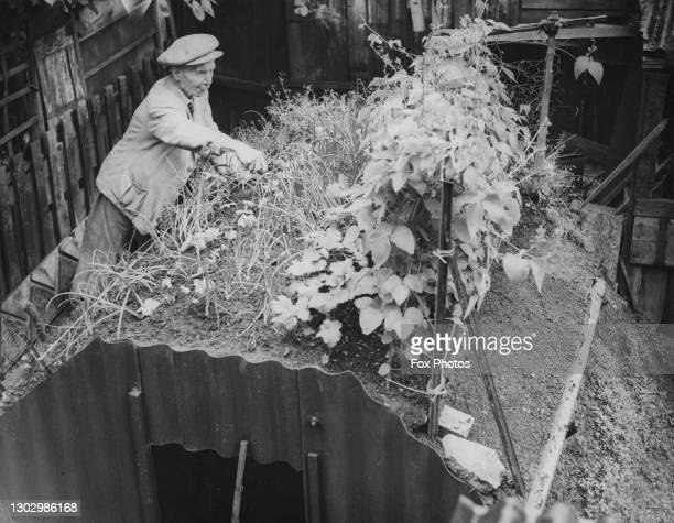 Charles Abbott tends to his vegetable plot of onions, parsnips and beans on top of the Anderson air raid shelter built in the garden for the Dig for...