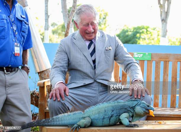 Charles Prince Of Wales with a blue iguana called Peter at the Queen Elizabeth II Royal Botanic Park on March 28 2019 in Grand Cayman Cayman Islands
