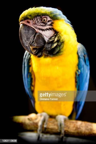 Charlie the blue and gold Macaw of Bucktons Company at The National Pet Show at NEC Arena on November 03 2018 in Birmingham England