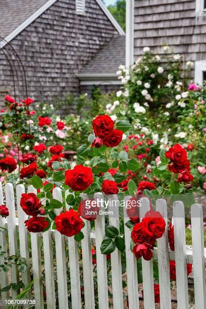Charming rose garden in bloom