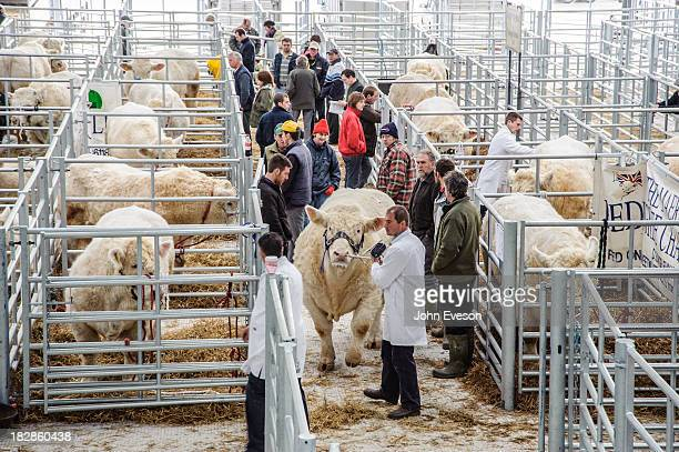Charolais beef bulls in pens at Welshpool Livestock Auction Market, Powys.