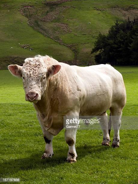 Charolais bull in green fields at Scotland