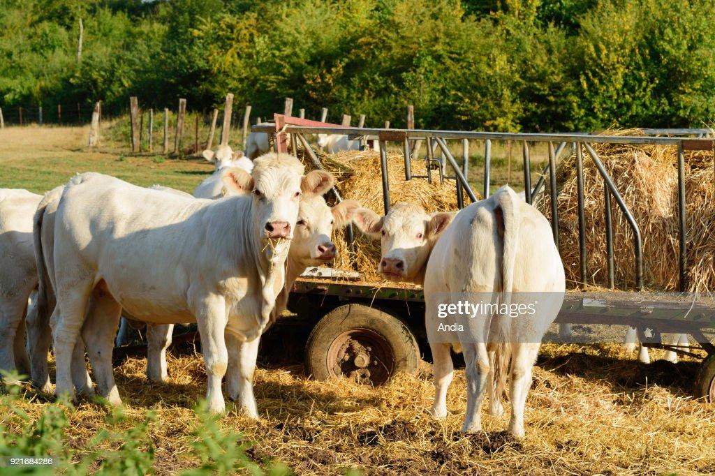 Charolais cattle. : News Photo