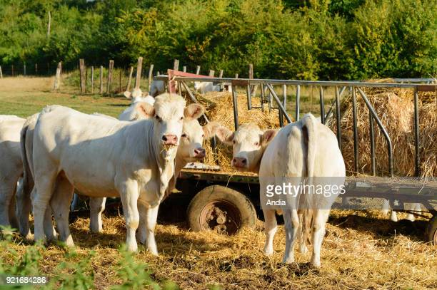 Charolais cattle in a meadow Fodder and water are supplied during summer