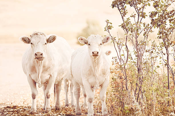 Charolaise Cattle