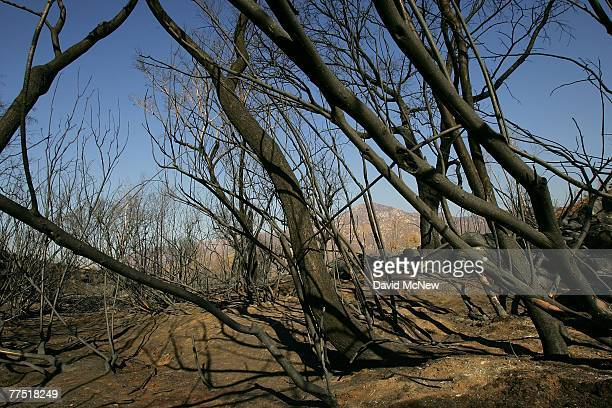 Charred branches lean over blackened earth in a ravine in which Border Patrol agents have found the bodies of suspected illegal immigrants, three men...