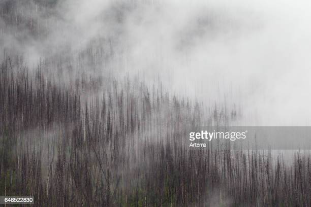 Charred lodgepole pines burned by forest fire Kootenay National Park British Columbia Canadian Rockies Canada