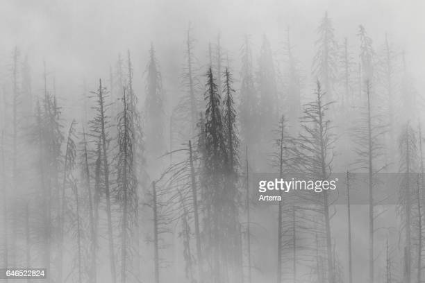 Charred lodgepole pines burned by forest fire silhouetted in the mist Kootenay National Park British Columbia Canadian Rockies Canada